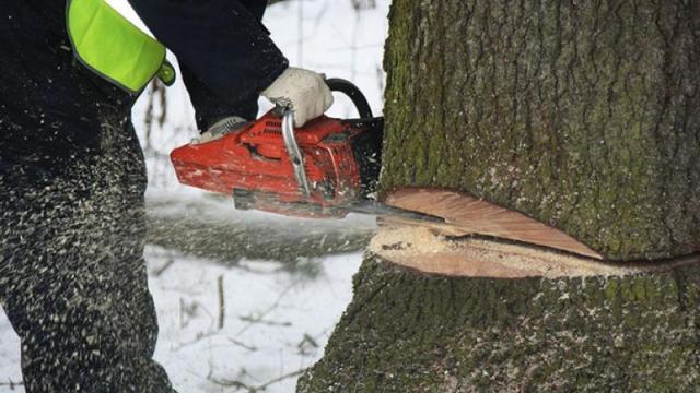 В Смоленске продолжают сносить старые деревья